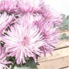 Paquete de Crisantemos