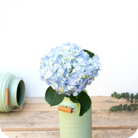 Hortensias frescas