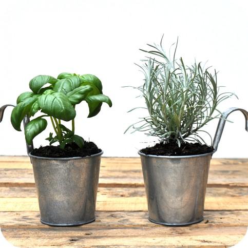 Pack  Plantas Aromáticas (2)