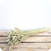 Paquete de Poa Natural (Phalaris)
