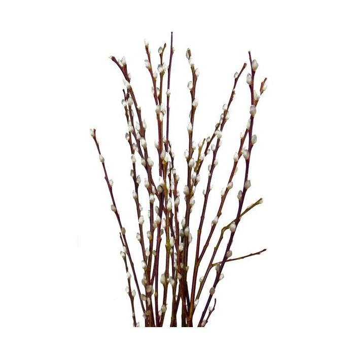 Paquete de Salix