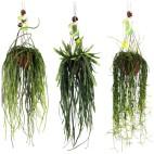 Cactus Colgante (RHIPSALIS)
