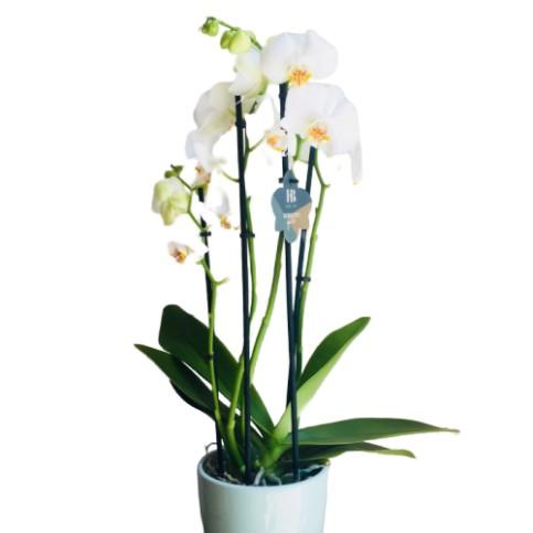 Planta Orquidea Calidad Premium
