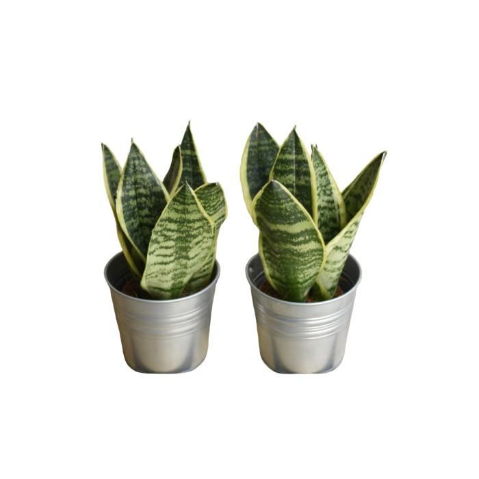 Planta Sansevieria Laurentii