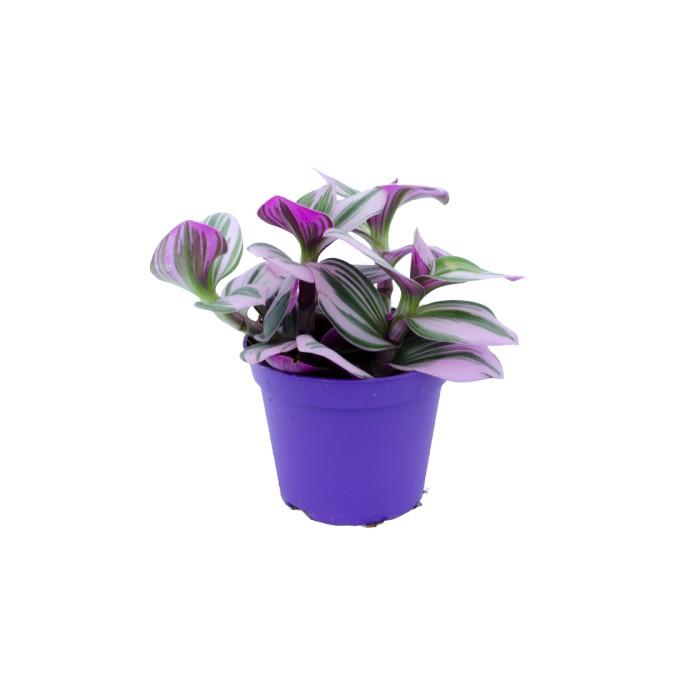 Planta Tradescantia