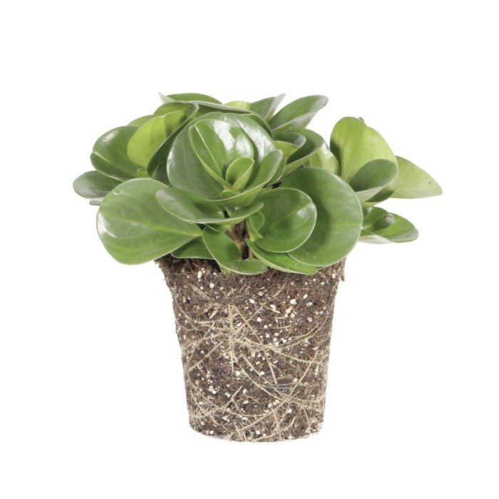 Peperomia Obtusifolia Green Go