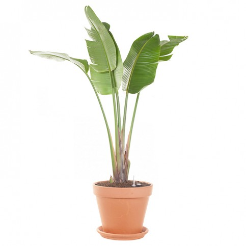 Planta strelitzia