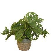 Planta Monstera OBLIQUA