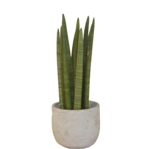 Planta Sansevieria Cilindrica