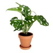 Planta Monstera Obliqua