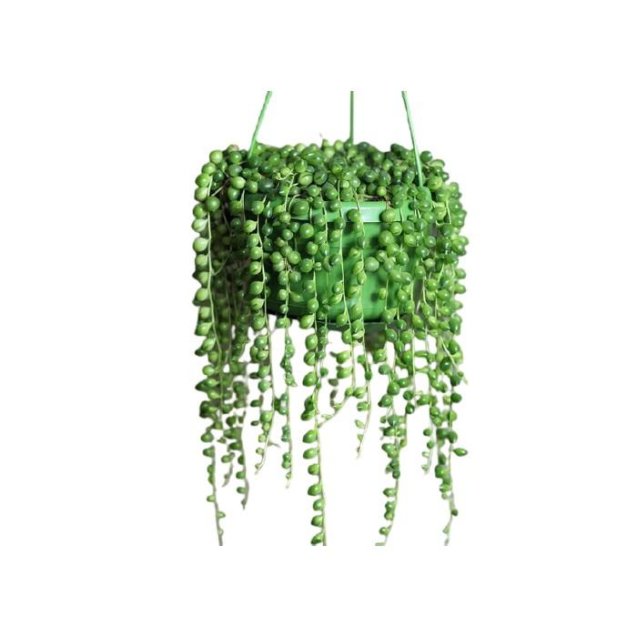 Planta del GUISANTE