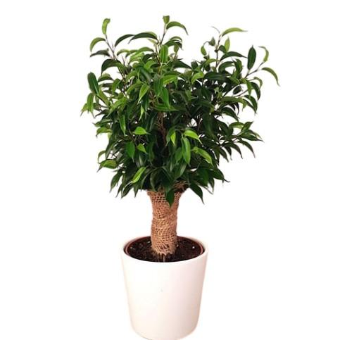 Planta Ficus be Natasja