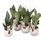 Planta Sansevieria Trifasciata